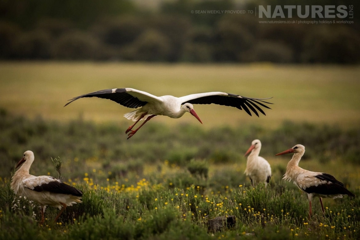 A Stork Comes In To Land Near The Carrion Hide Photographed During The Spanish Birds Of The Calera Plains Photography Holiday