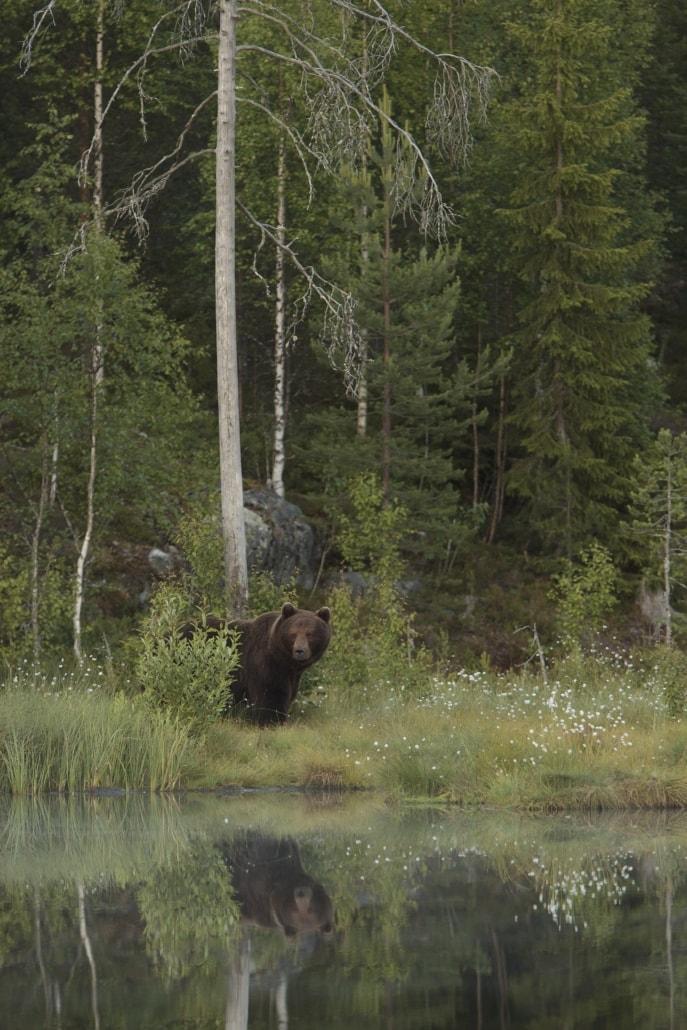 Lakeside, a European Brown Bear pauses for thought - typical of the type of image that may be captured photographed at the location used for the NaturesLens Brown Bears of Finland Photography Holiday