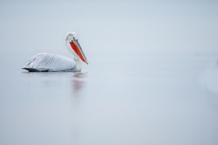 One Of Kerkini's Dalmatian Pelicans Drifts Serenely Across The Waters Of The Lake   Photographed During The NaturesLens Dalmatian Pelicans Of Kerkini WIldlife Photograhpy Holiday