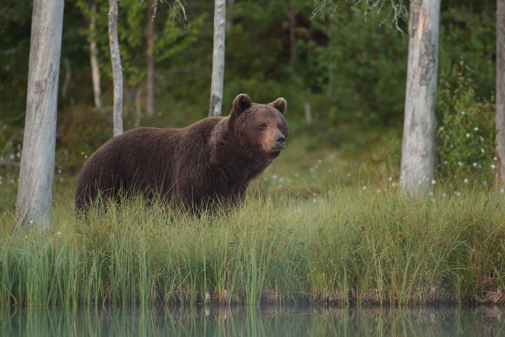 Early bird pricing for the Brown Bears of Finland 1