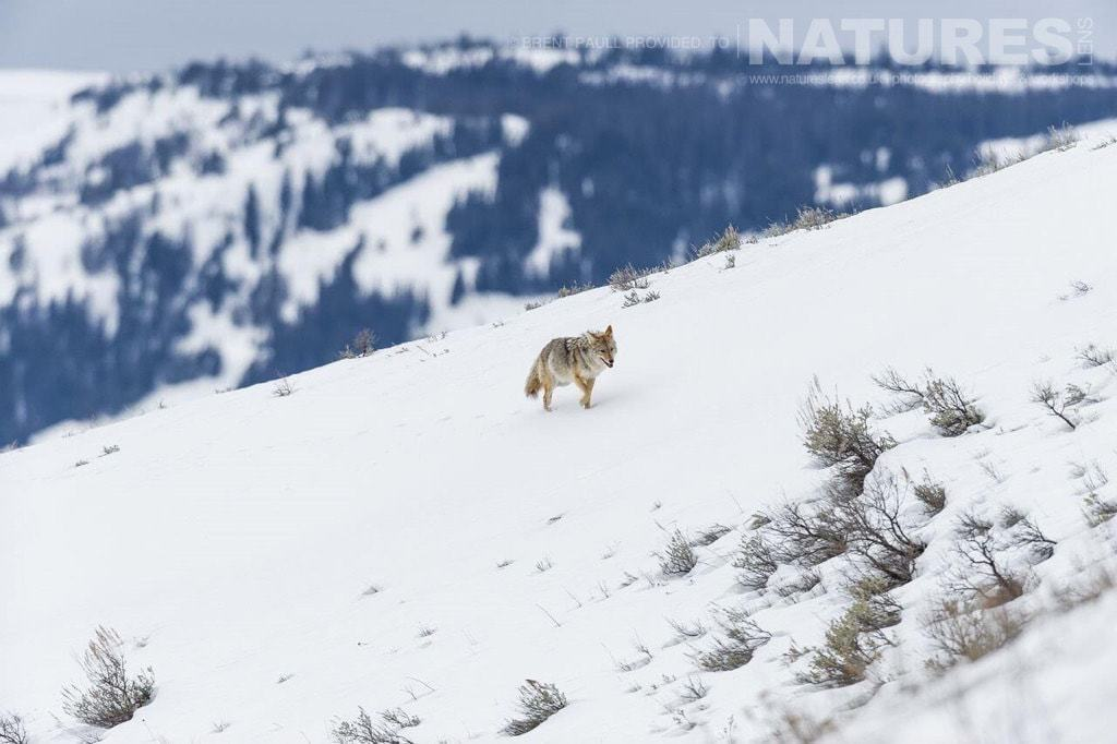 A beautiful image of a coyote traversing the landscape - typical of the type of image to be captured on the NaturesLens Utah & Yellowstone in Winter Photography Holiday