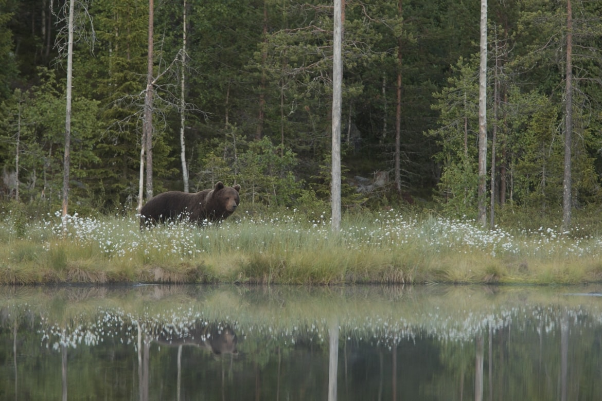 A European Brown Bear amongst the summer cotton grass - typical of the type of image that may be captured photographed at the location used for the NaturesLens Brown Bears of Finland Photography Holiday