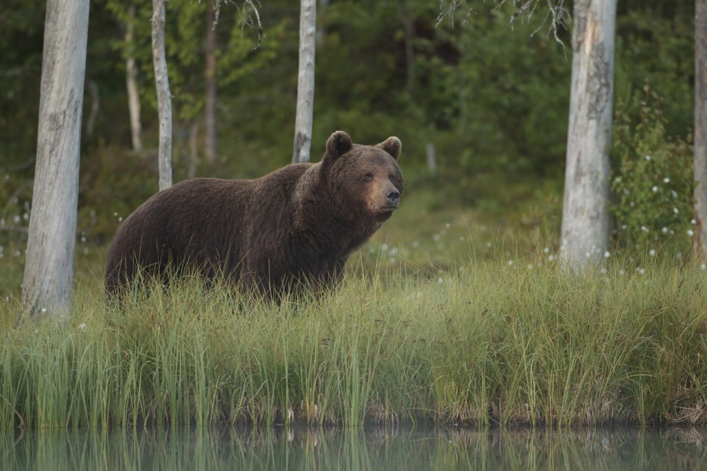 A European Brown Bear walks alongside one of the lakes - typical of the type of image that may be captured photographed at the location used for the NaturesLens Brown Bears of Finland Photography Holiday