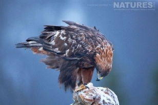 A Golden Eagle lands on a perch outside the hides used on the Golden Eagles & Goshawks In Winter Photography Holiday