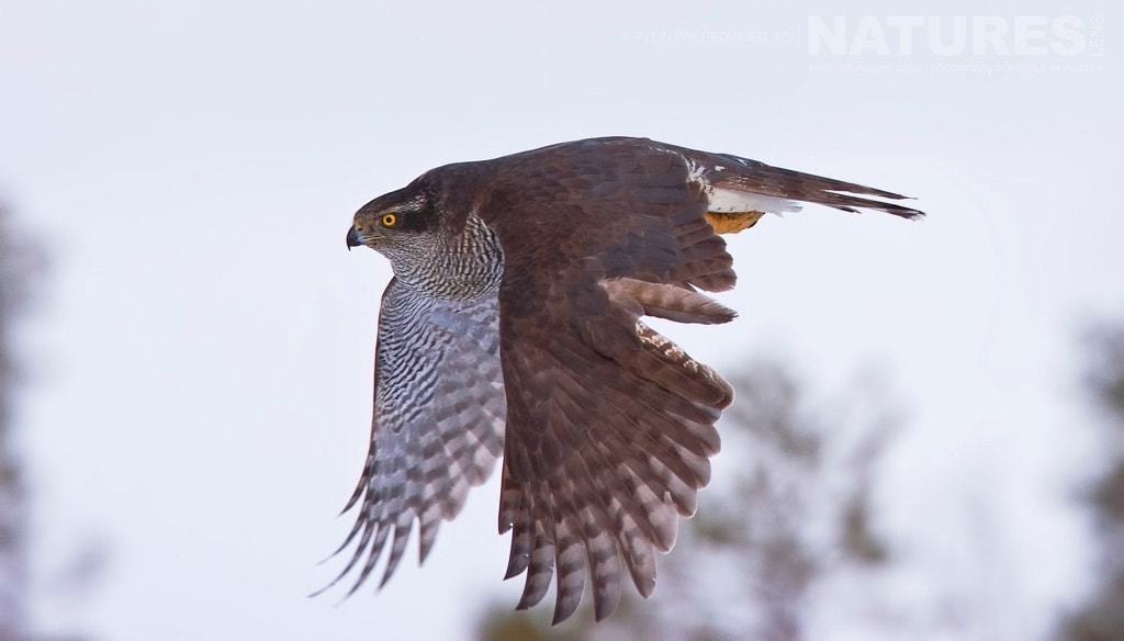 a goshawk image captured from the hides used on the golden eagles goshawks in winter photography holiday