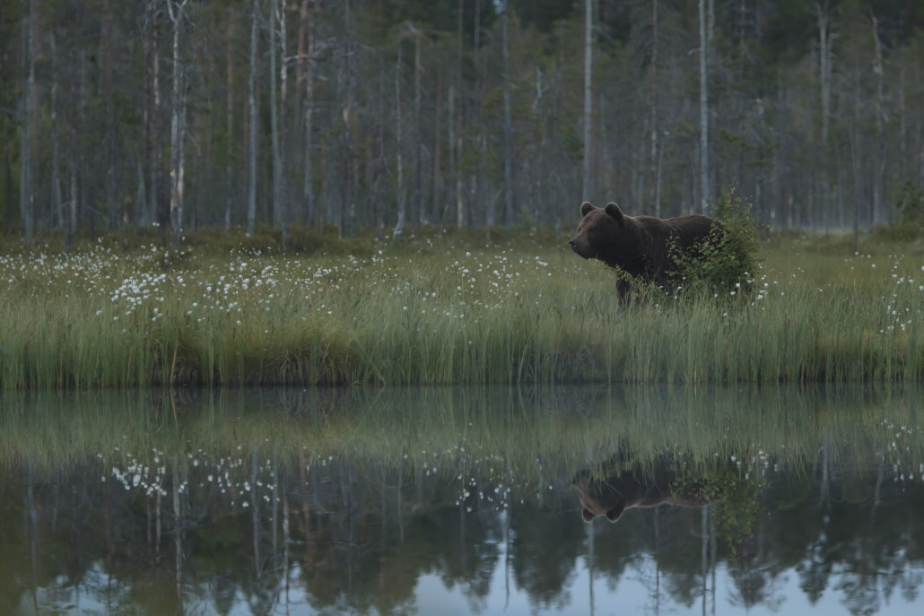 Amongst the cotton grass, a European Brown Bear wanders to one of the lakes - typical of the type of image that may be captured photographed at the location used for the NaturesLens Brown Bears of Finland Photography Holiday