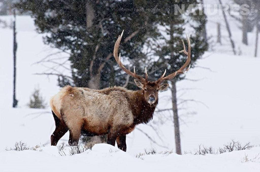 An elk, encountered in the Tetons - typical of the type of image to be captured on the NaturesLens Utah & Yellowstone in Winter Photography Holiday