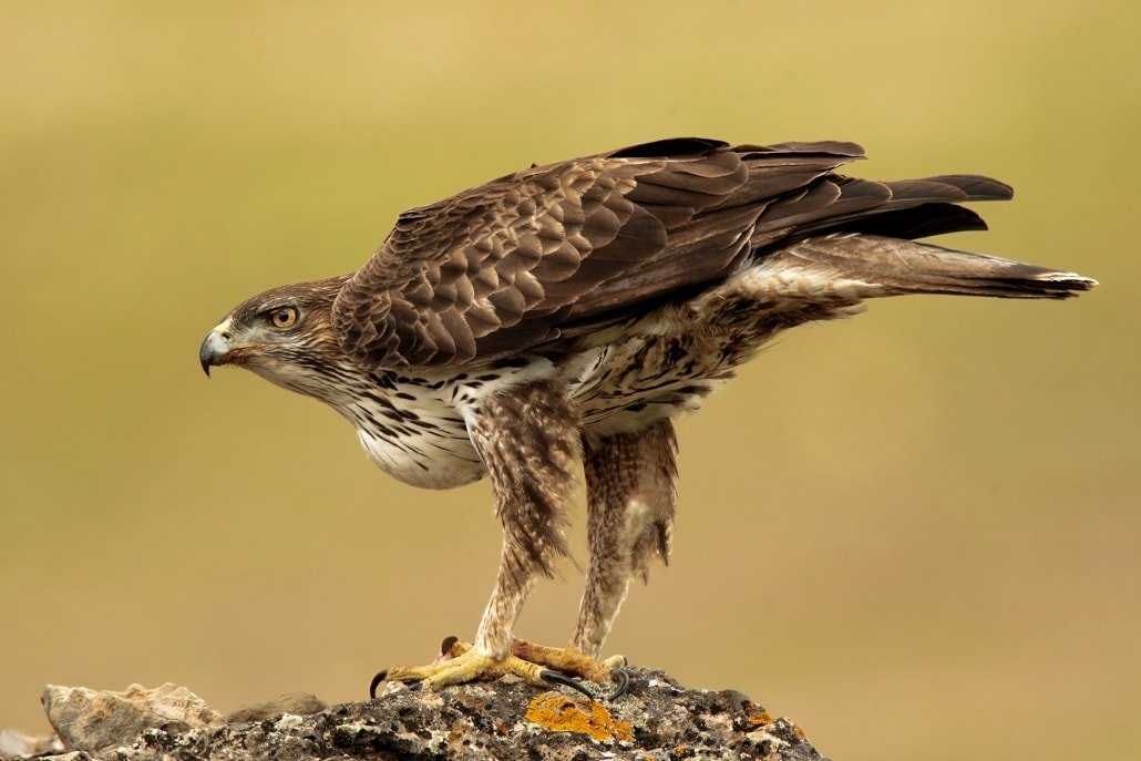 An image of a Bonelli's Eagle - typical of the images that may be captured during the Eagles & Raptors of Spain Photography Holiday
