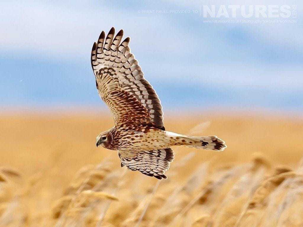 An image of a harrier captured at Farmington Bay - typical of the type of image to be captured on the NaturesLens Utah & Yellowstone in Winter Photography Holiday