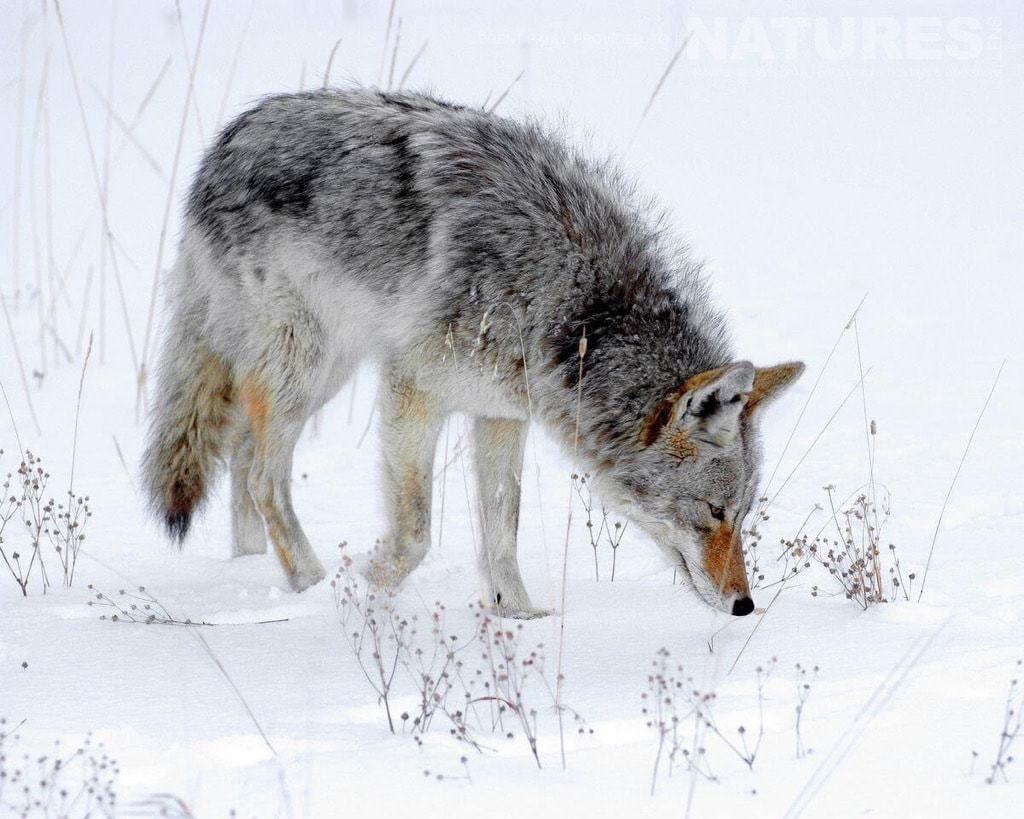 A coyote, one of the best predators to encounter in Yellowstone - typical of the type of image to be captured on the NaturesLens Utah & Yellowstone in Winter Photography Holiday