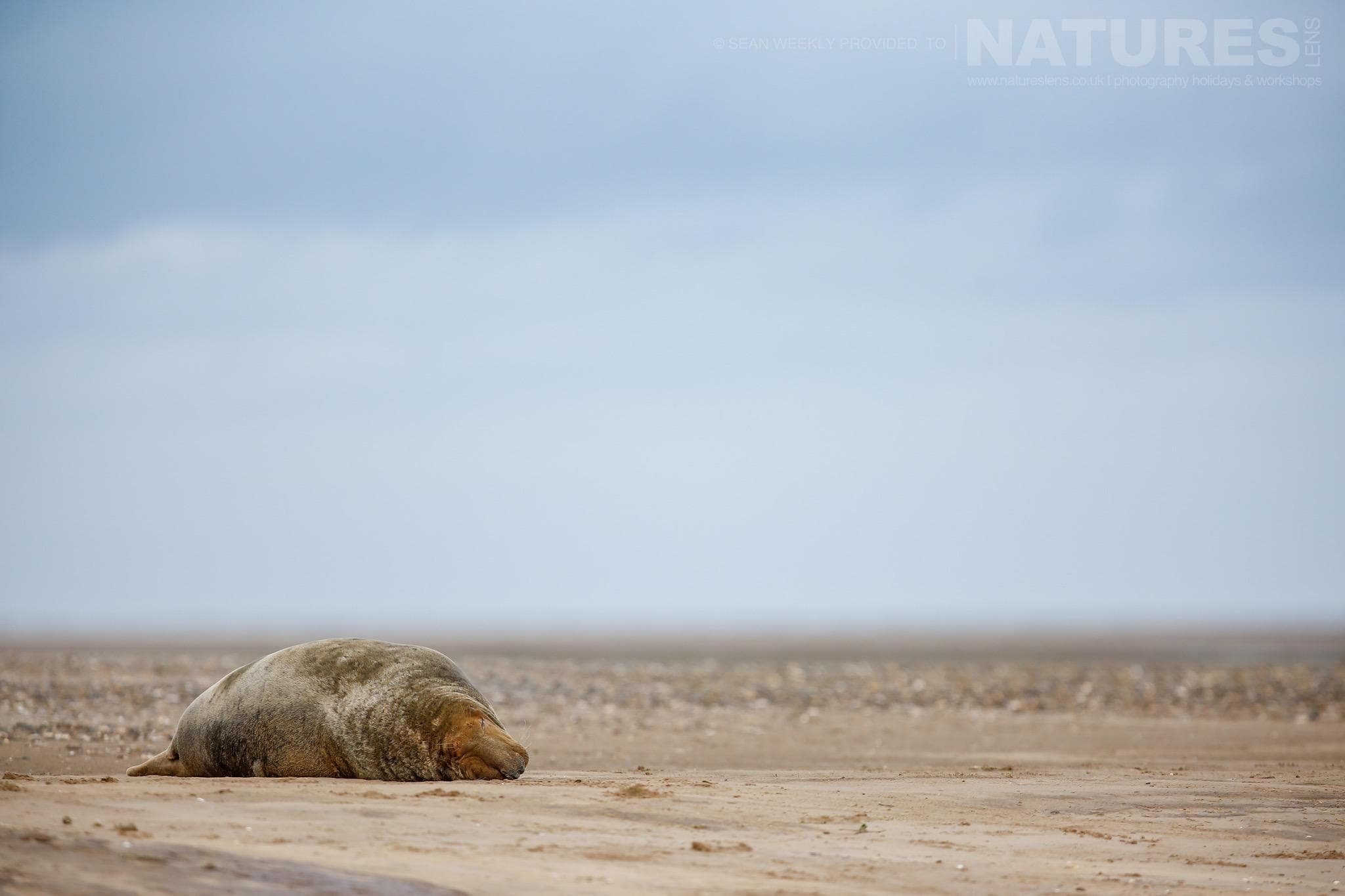 An older seal found on a secluded beach - typical of the type of image that participants of the NaturesLens Atlantic Grey Seals Photography Holiday will be able to capture