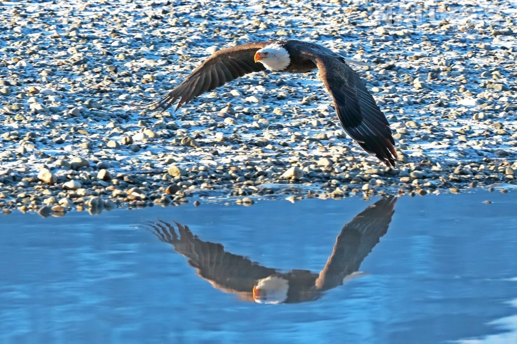 A Bald Eagle Flies Gracefully Above The Waters Of The Chilkat River Photographed On The NaturesLens Bald Eagles Of Alaska Photography Holiday