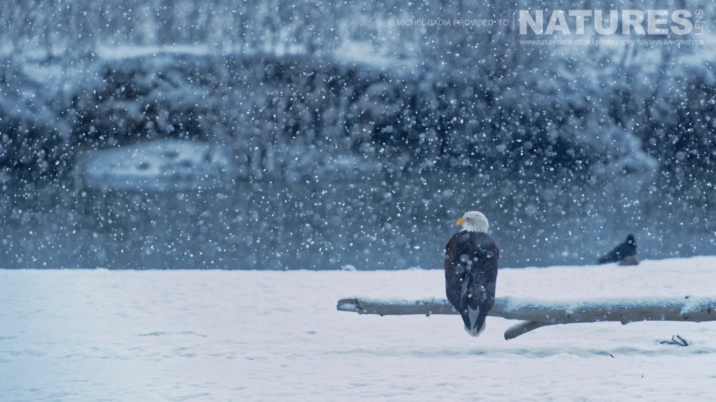 A Bald Eagle Perches, In A Snowstorm, On A Log Found On One Of The Sandbanks Found Up And Down The Chilkat River Photographed On The NaturesLens Bald Eagles Of Alaska Photgraphy Holiday
