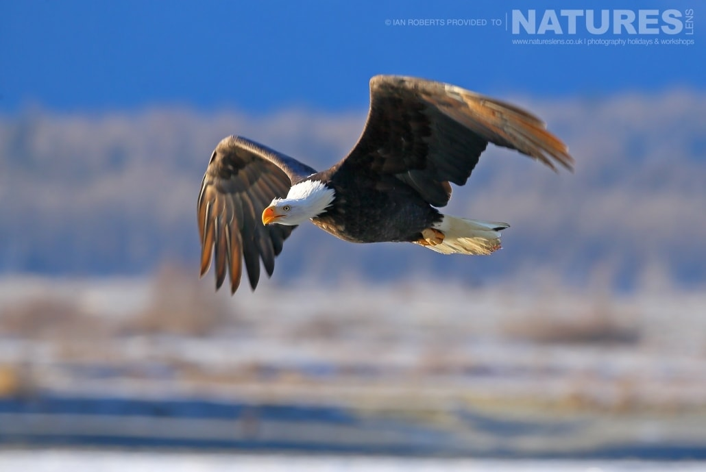 A Bald Eagle Soars Through The Wintery Air Of The Chilkat Valley Photographed On The NaturesLens Bald Eagles Of Alaska Photography Holiday