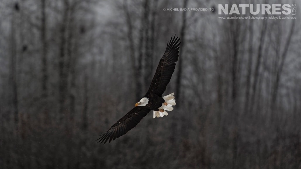 A Bald Eagle Soars Throught The Air Along The Chilkat Valley Photographed On The NaturesLens Bald Eagles Of Alaska Photgraphy Holiday