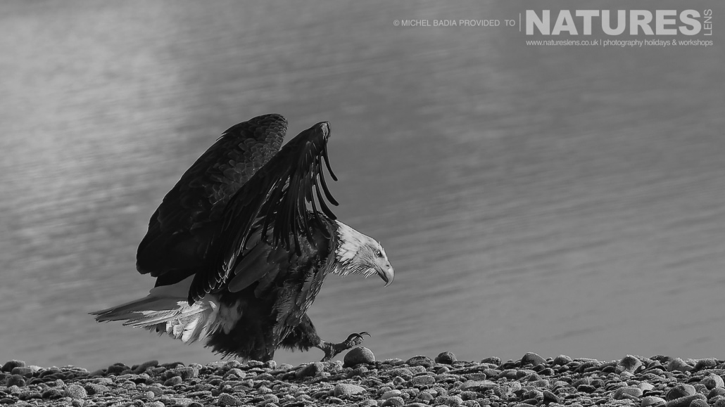 A Bald Eagle Struts Along The Shoreline Of The Chilkat River Photographed On The NaturesLens Bald Eagles Of Alaska Photgraphy Holiday