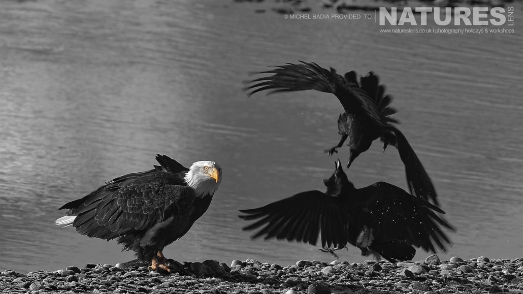 A Bald Eagle Watches As Two Ravens Squabble For Pickings Of Fish On The Shoreline Of The Chilkat River Photographed On The NaturesLens Bald Eagles Of Alaska Photgraphy Holiday