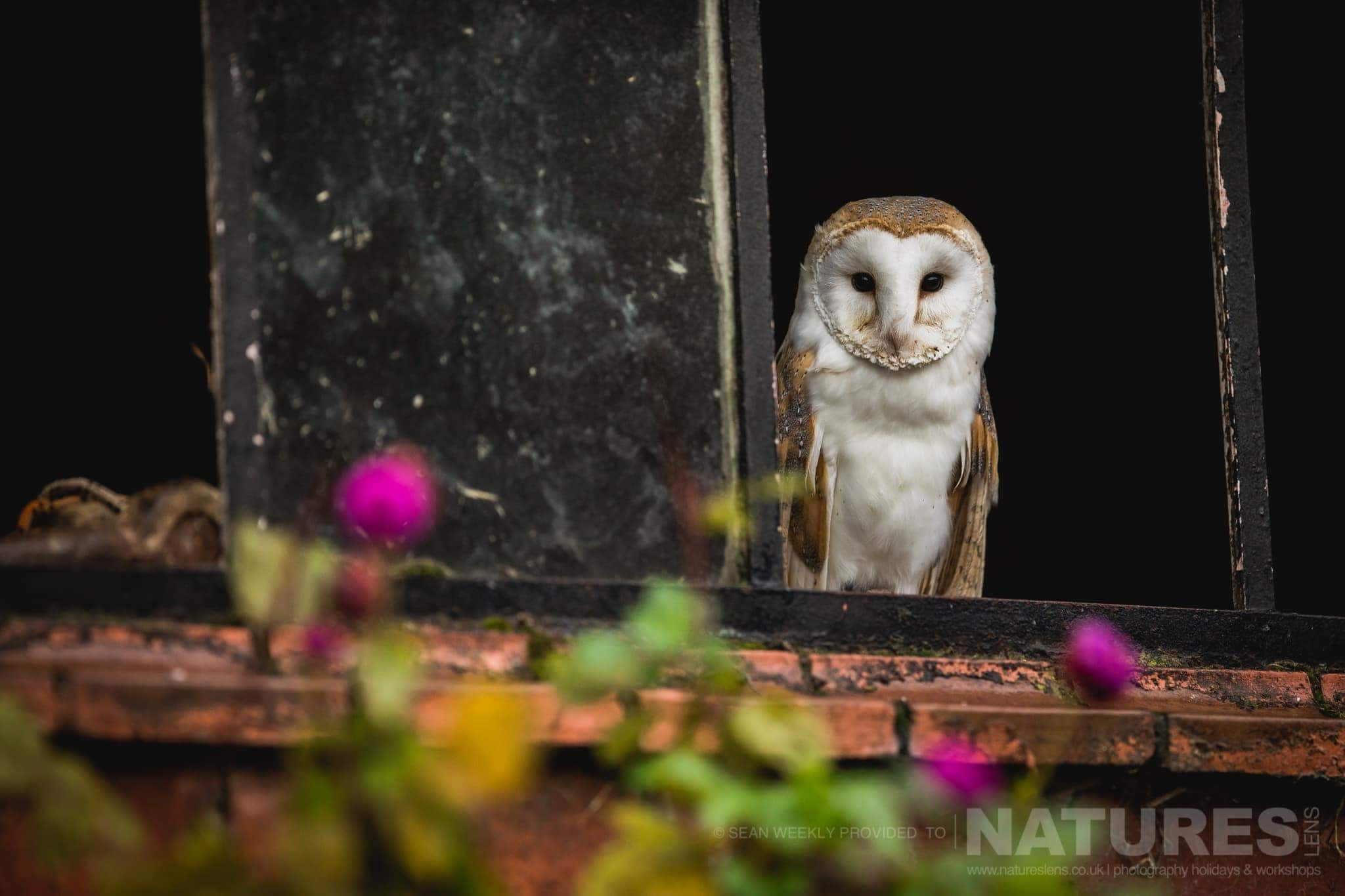 A Barn Owl In A Farm Outbuilding   An Example Of The Type Of Image That You Will Have Opportunities To Capture During The NaturesLens Welsh Birds Of Prey Photography Workshop