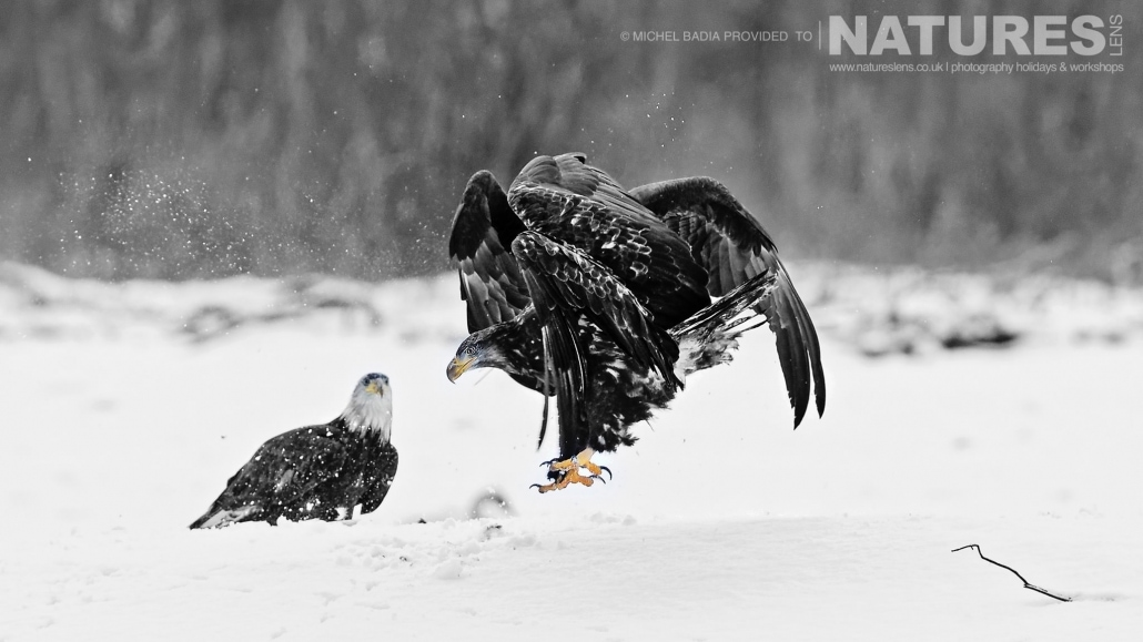 A Juvenile Bald Eagle Lands, Whilst Being Watched By One Of The Adult Bald Eagles Photographed On The NaturesLens Bald Eagles Of Alaska Photgraphy Holiday