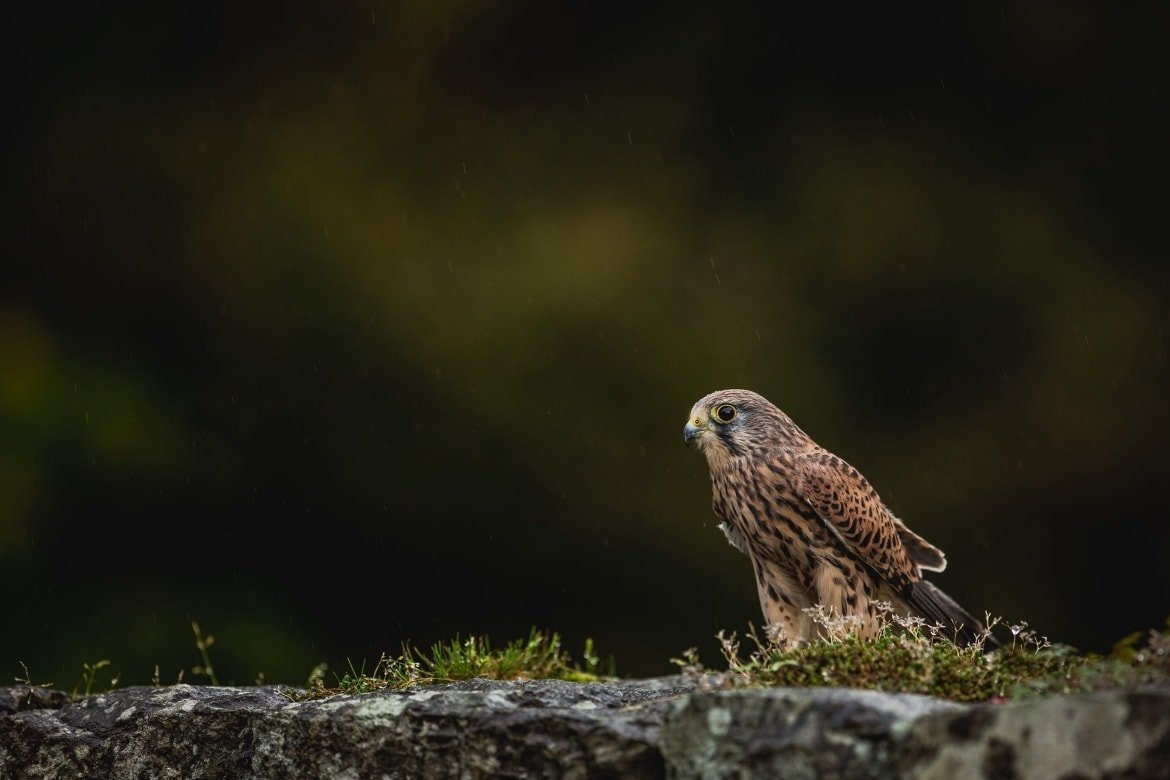 A Kestrel Amongst The Rocks   An Example An Image That You May Have Opportunities To Capture During The NaturesLens Welsh Birds Of Prey Photography Workshop