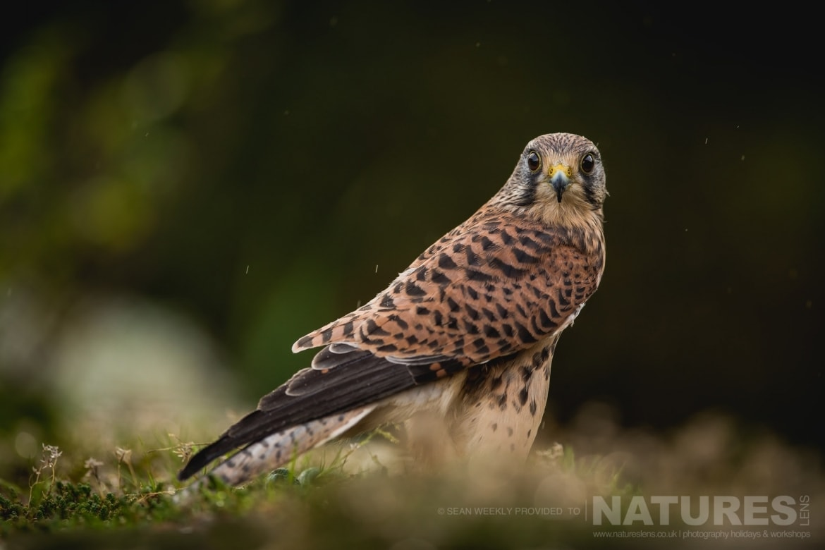 A Kestrel   An Example An Image That You May Have Opportunities To Capture During The NaturesLens Welsh Birds Of Prey Photography Workshop