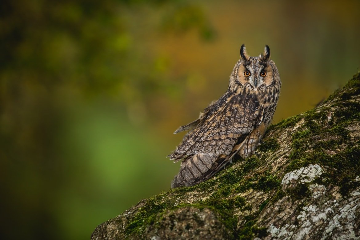 A Long Eared Owl Posed On An Ancient Tree   An Example Of The Type Of Image That You Will Have Opportunities To Capture During The NaturesLens Welsh Birds Of Prey Photography Workshop