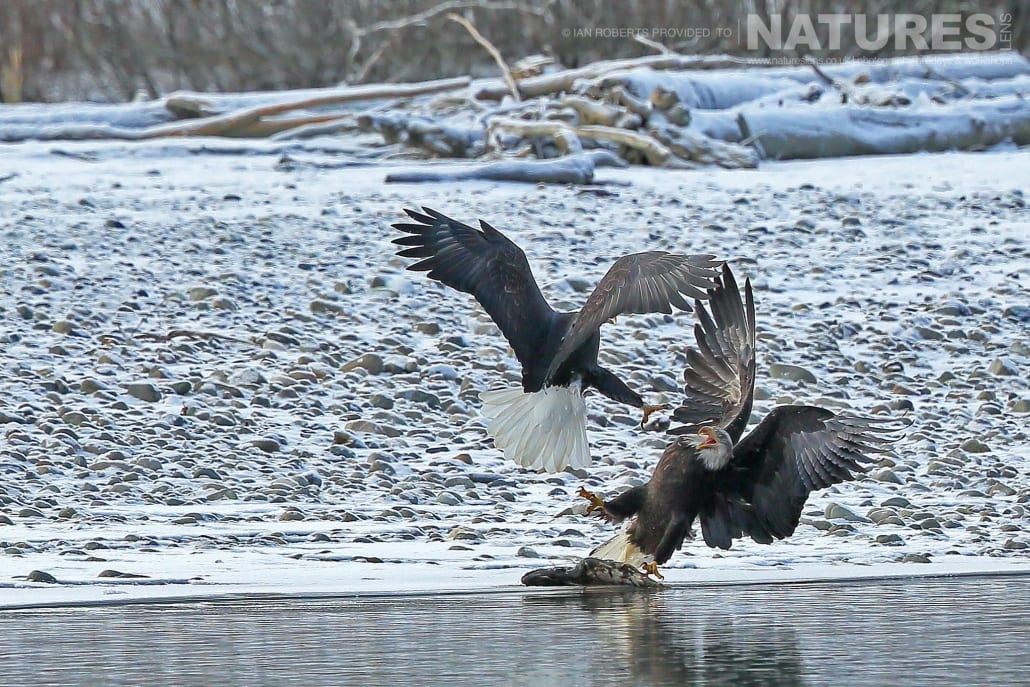 A Pair Of Bald Eagle Squabble Over A Fish In The Chilkat River Photographed On The NaturesLens Bald Eagles Of Alaska Photography Holiday