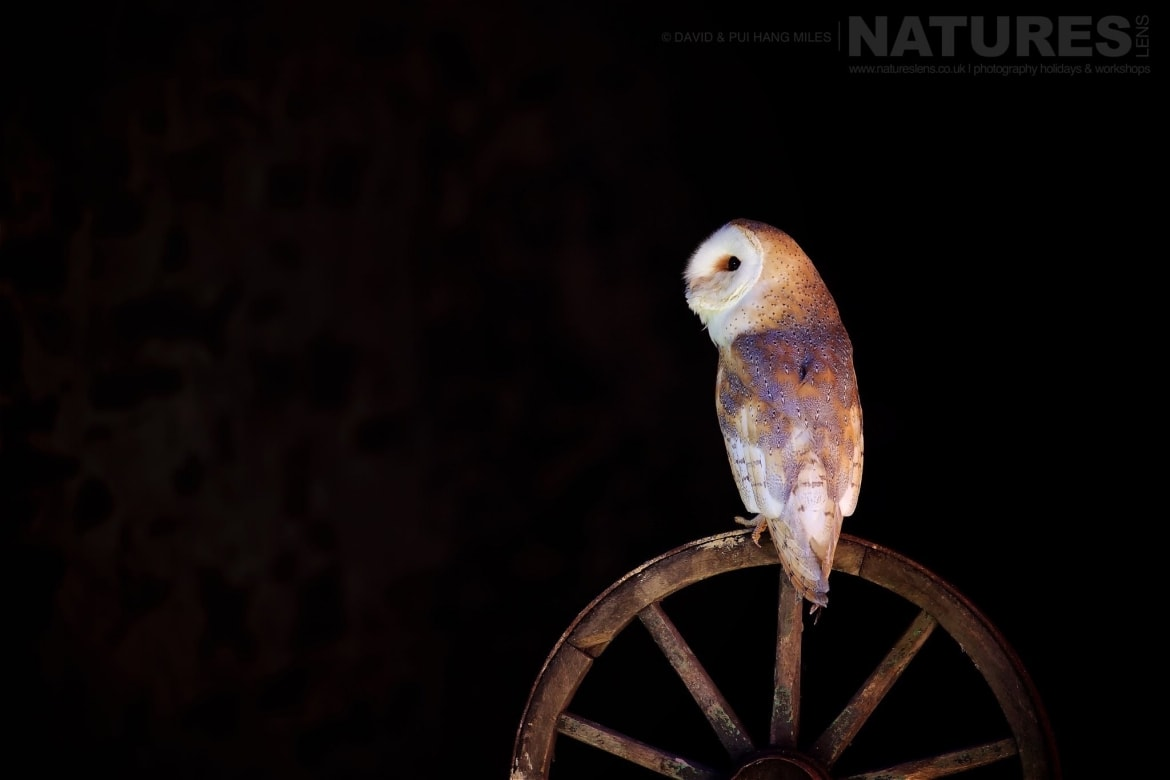 A Photogenic Barn Owl Posed On Wooden Farm Wheel Photographed On The NaturesLens Welsh Birds Of Prey Photography Workshop