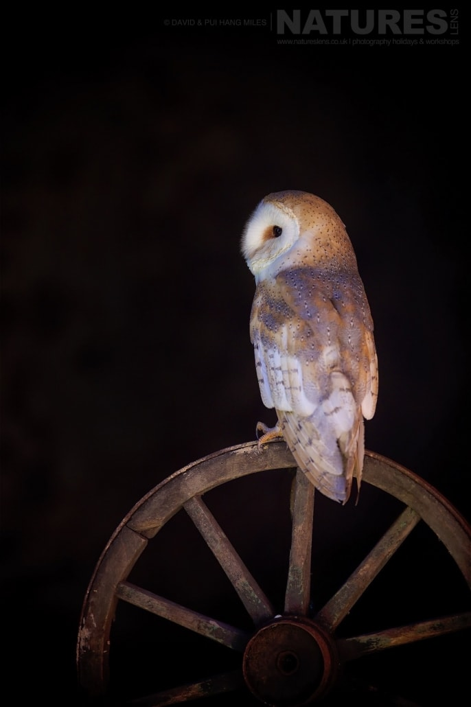 A Portrait Of A Barn Owl Which Is Perched On A Wooden Farm Wheel Photographed On The NaturesLens Welsh Birds Of Prey Photography Workshop