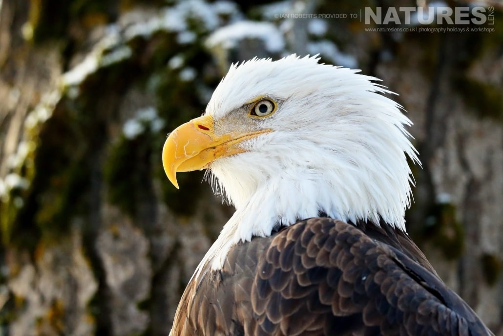 A Portrait Of One Of The Chilkat Valley Bald Eagles Photographed On The NaturesLens Bald Eagles Of Alaska Photography Holiday