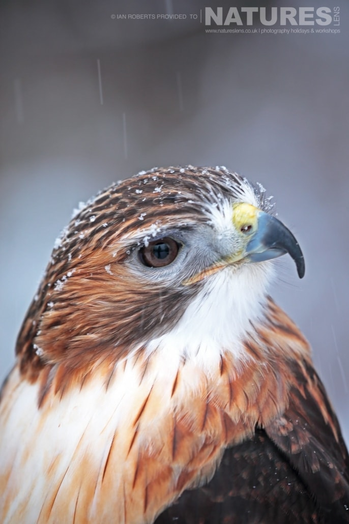 A Red Tailed Hawk Who Now Lives At The Kroschel Wildlife Centre Photographed On The NaturesLens Bald Eagles Of Alaska Photography Holiday