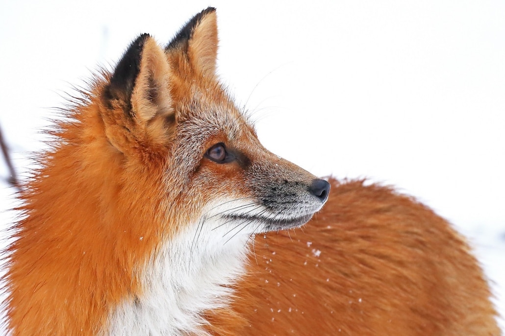 An Orphaned Red Fox, Named Isis, Who Now Lives At The Kroschel Wildlife Centre Photographed On The NaturesLens Bald Eagles Of Alaska Photography Holiday
