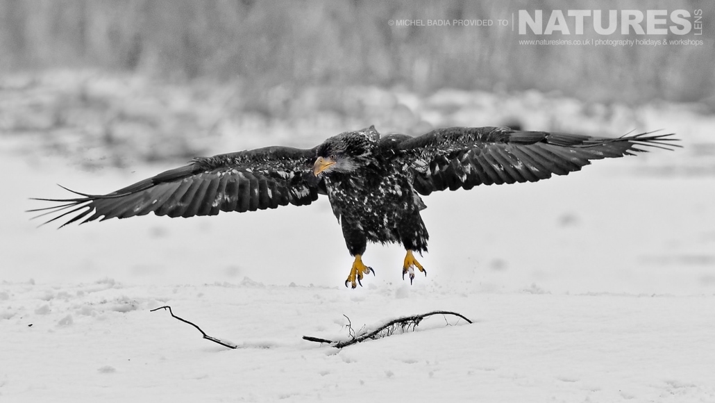 One Of The Juvenile Bald Eagles Lands On Snow On The Shoreline Of The Chilkat River Photographed On The NaturesLens Bald Eagles Of Alaska Photgraphy Holiday