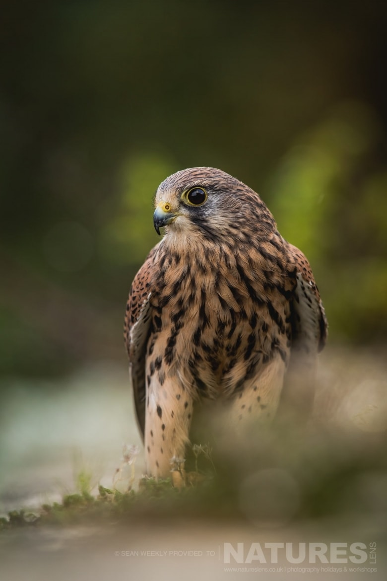 One Of The Kestrels Amongst The Rocks   An Example An Image That You May Have Opportunities To Capture During The NaturesLens Welsh Birds Of Prey Photography Workshop
