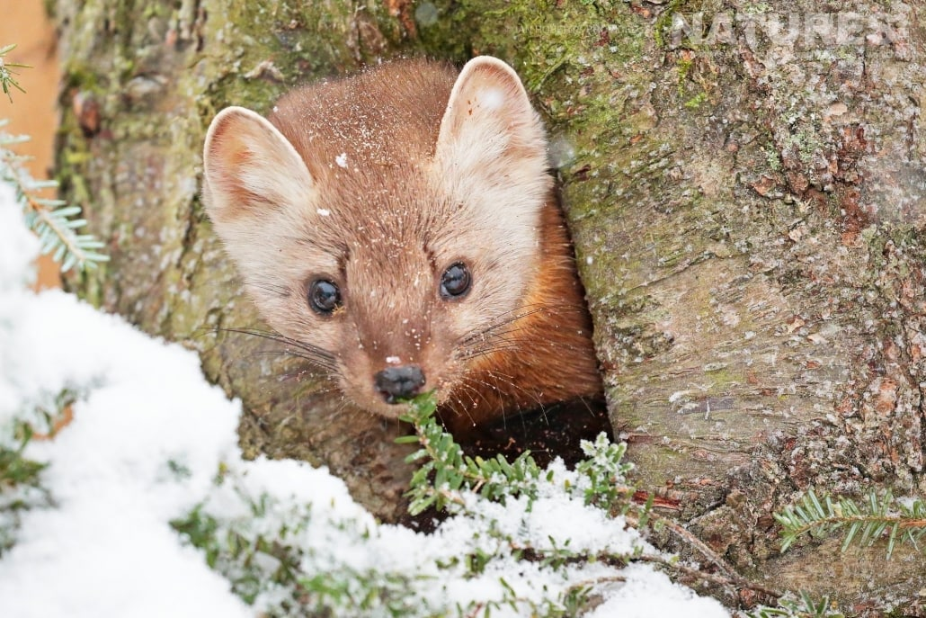 One Of The Pine Martins Who Are Now Resident At The Kroschel Wildlife Centre Photographed On The NaturesLens Bald Eagles Of Alaska Photography Holiday Jpg
