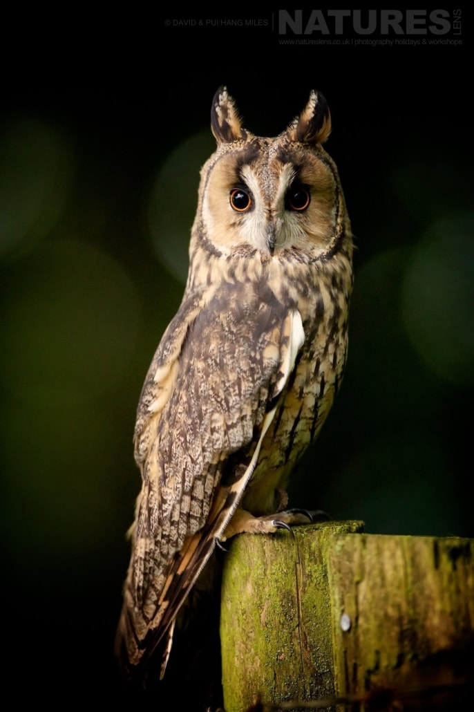 The Long Eared Owl Poses Beautifully On A Weathered Fence Post Photographed On The NaturesLens Welsh Birds Of Prey Photography Workshop
