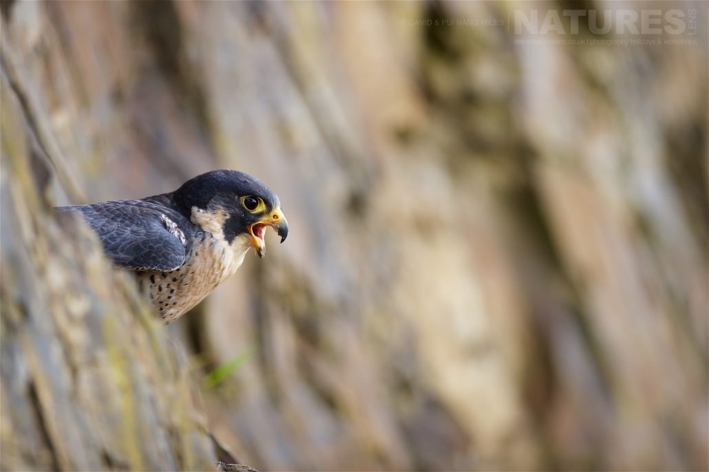 The Peregrine Screams Out From It's Vantage Point In The Quarry Area That Is Available For Our Use Photographed On The NaturesLens Welsh Birds Of Prey Photography Workshop