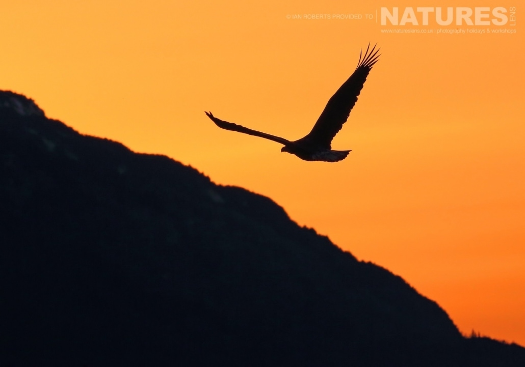 The Silhouette Of A Soaring Bald Eagle Over The Chilkat Valley Photographed On The NaturesLens Bald Eagles Of Alaska Photography Holiday