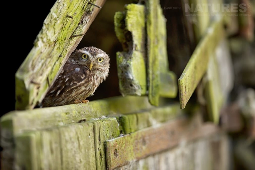 The Wonderful Little Owl Inspects The Outside World From A Broken Barn Door Photographed On The NaturesLens Welsh Birds Of Prey Photography Workshop