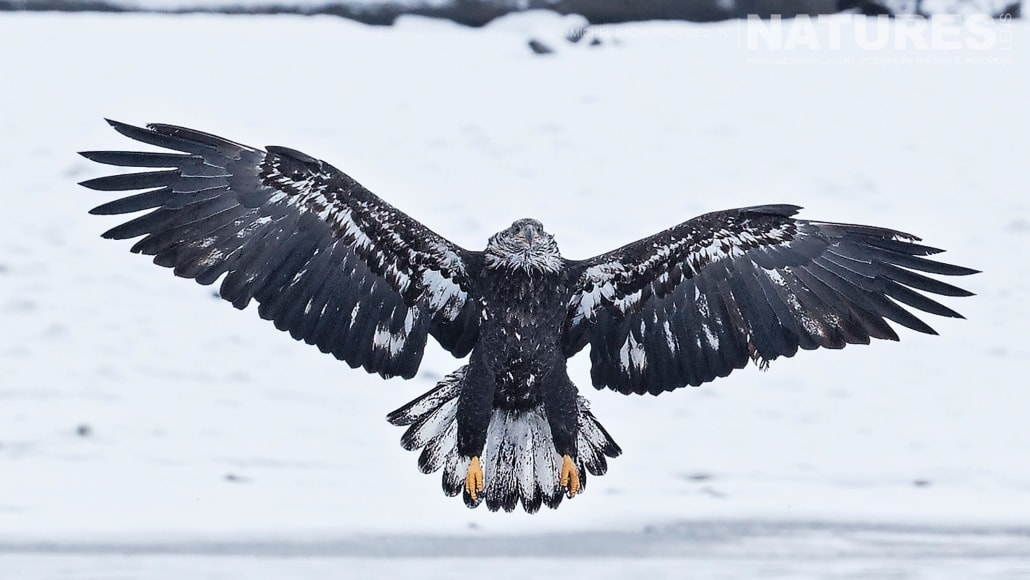 Wings Fully Spread, A Juvenile Bald Eagle Lands On Snow On The Shoreline Of The Chilkat River Photographed On The NaturesLens Bald Eagles Of Alaska Photgraphy Holiday
