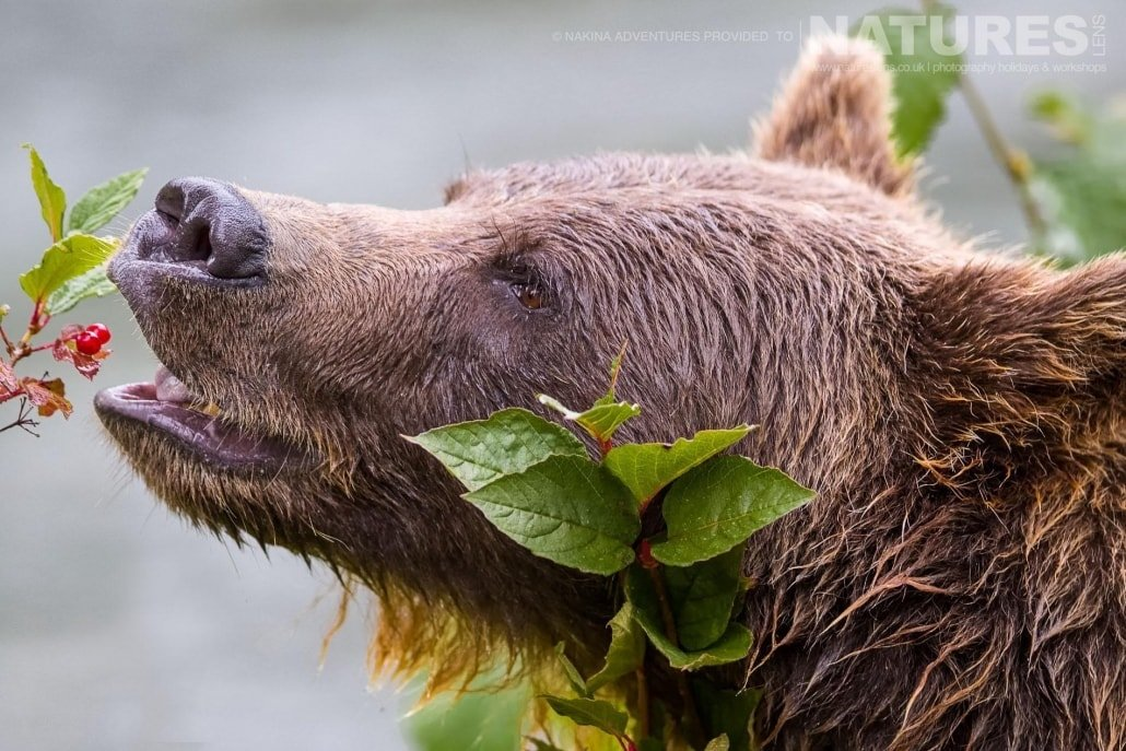 A Grizzly Bear eating berries from one of the trees that border the Taku river in British Columbia - an example of the photography opportunities that you will experience on the NaturesLens Grizzly Bears of British Columbia Photography Holiday