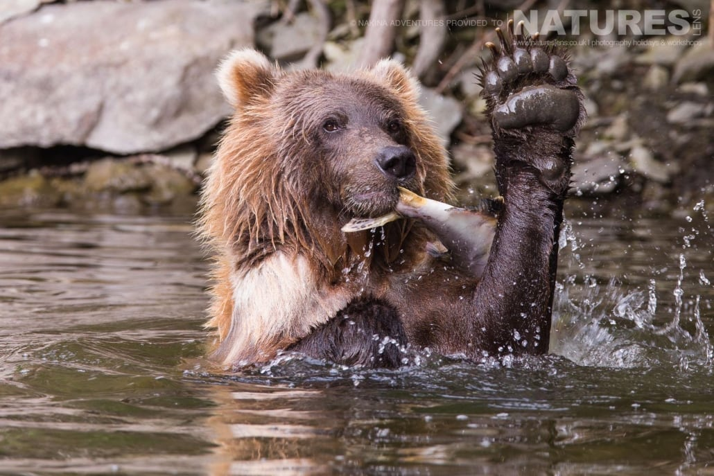 A Grizzly Bears following a successful fishing excursion in the Taku river in British Columbia - an example of the photography opportunities that you will experience on the NaturesLens Grizzly Bears of British Columbia Photography Holiday