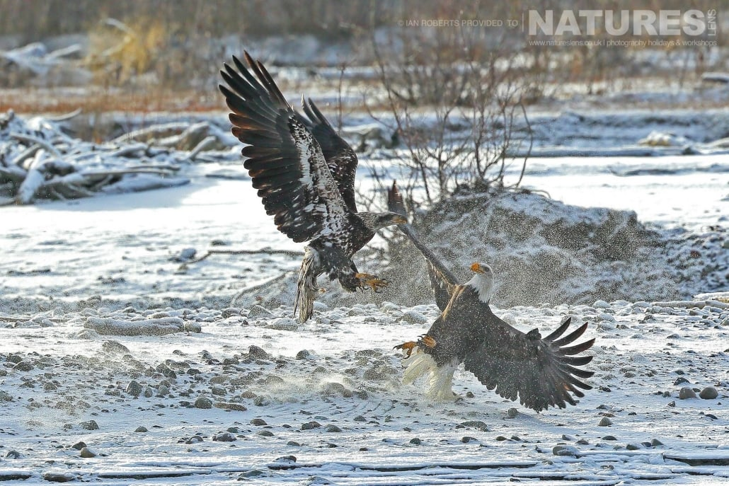 A juvenile bald eagle attempts to steal a fish from an adult bald eagle - on the right - the juveniles go through several distinct moults prior to adulthood - photographed on the NaturesLens Bald Eagles of Alaska Photography Holiday