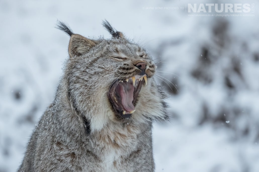 A Lynx Yawning After Waking From It's Slumber At The Kroschel Wildlife Centre Photographed On The NaturesLens Bald Eagles Of Alaska Photography Holiday