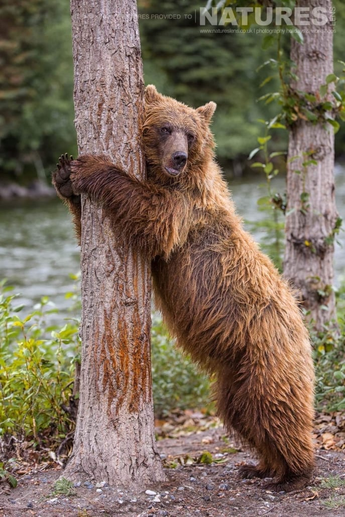 A mature Grizzly Bear rubs itself against one of the trees that border the Taku river in British Columbia - an example of the photography opportunities that you will experience on the NaturesLens Grizzly Bears of British Columbia Photography Holiday