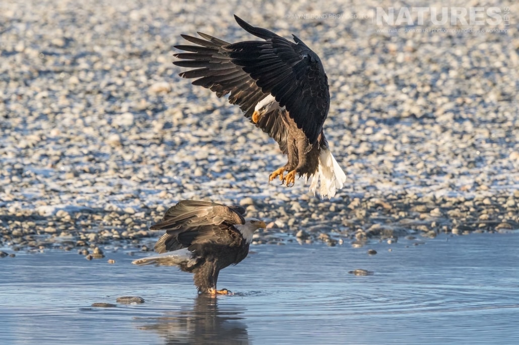 A Pair Of Alaskan Bald Eagles Jostle Over A Fish In The Shallows Of The Chilkat River Photographed On The NaturesLens Bald Eagles Of Alaska Photography Holiday