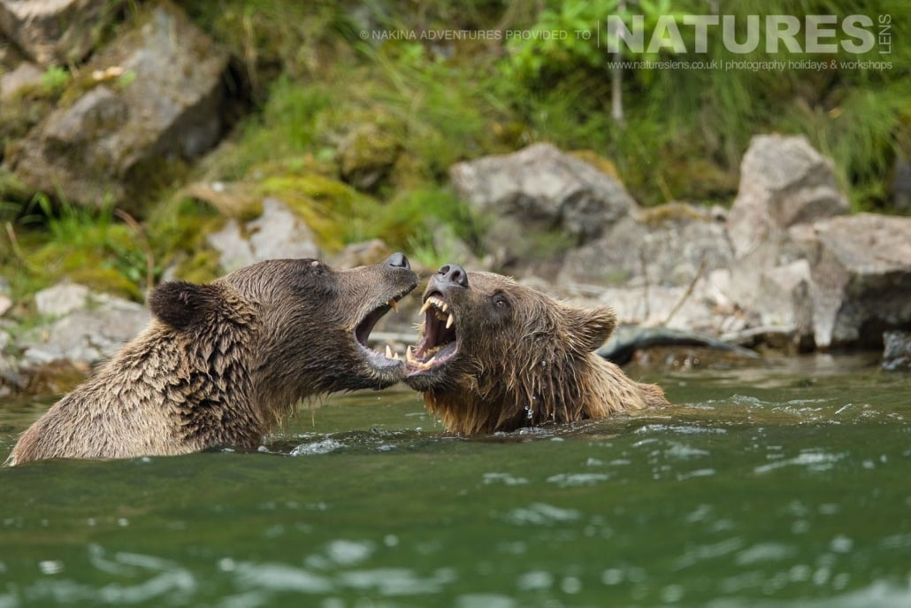 A pair of Grizzly Bears sparring in the Taku river in British Columbia - an example of the photography opportunities that you will experience on the NaturesLens Grizzly Bears of British Columbia Photography Holiday