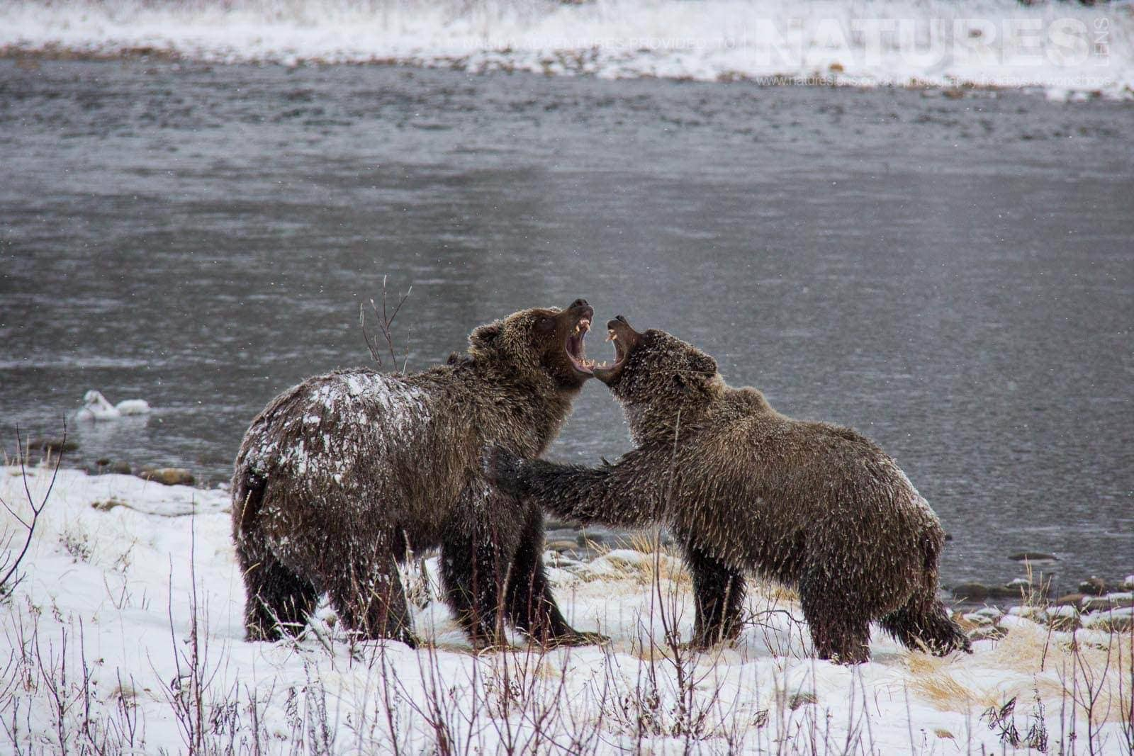 A Pair Of Sparring You Grizzly Bears On The Banks Of The Fishing Branch River Typical Of The Kind Of Image That May Be Captured On The NaturesLens Ice Bears Of The Yukon Photographic Holiday
