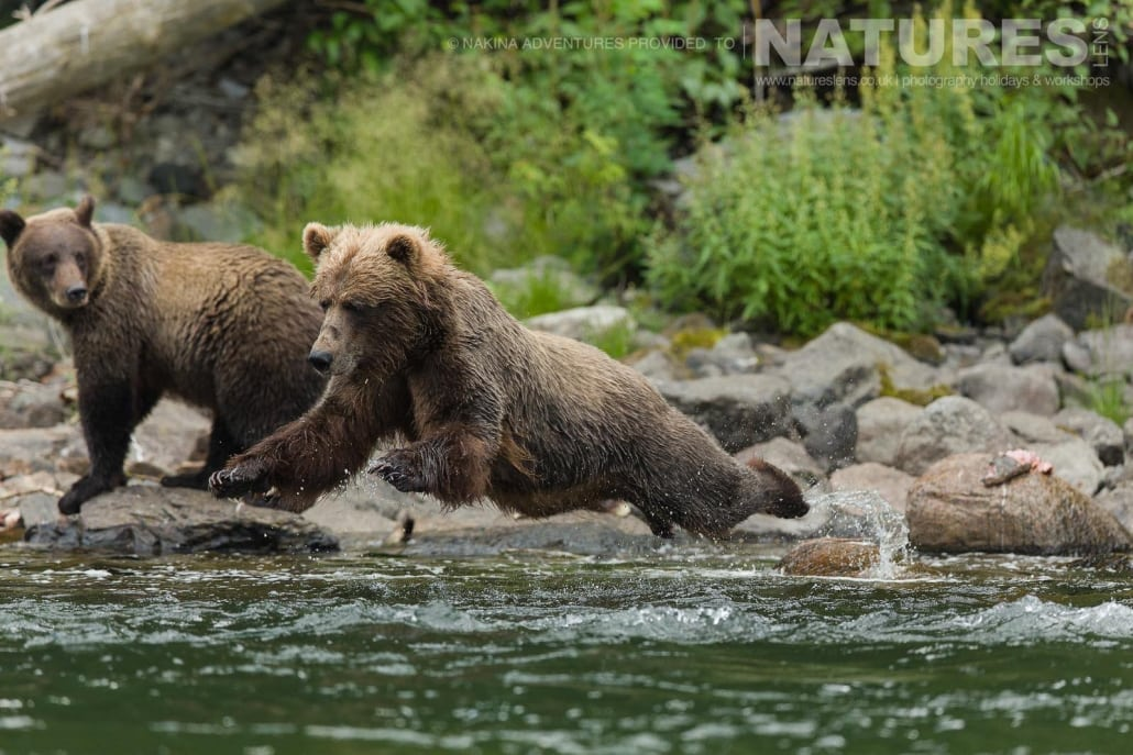 A pair of young Grizzly Bears leaping into the Taku river in British Columbia - an example of the photography opportunities that you will experience on the NaturesLens Grizzly Bears of British Columbia Photography Holiday