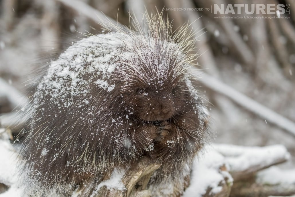 A Porcupine Caught In A Fall Of Snow At The Kroschel Wildlife Centre Photographed On The NaturesLens Bald Eagles Of Alaska Photography Holiday